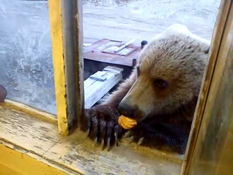 Russian Worker Feeds Cookies to a Gentle Russian Bear Through a Service Window