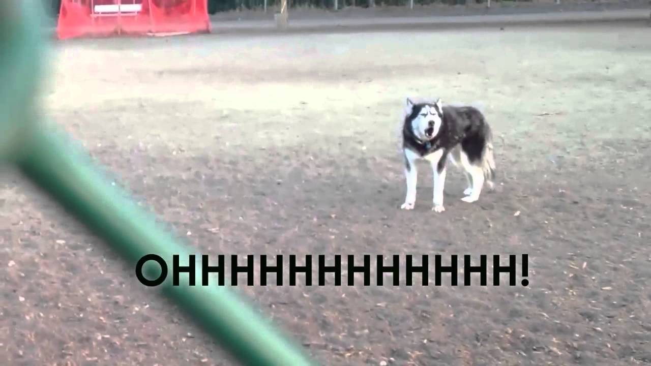 Stubborn Husky Verbally Informs His Human That He's Not Ready to Leave the Dog Park