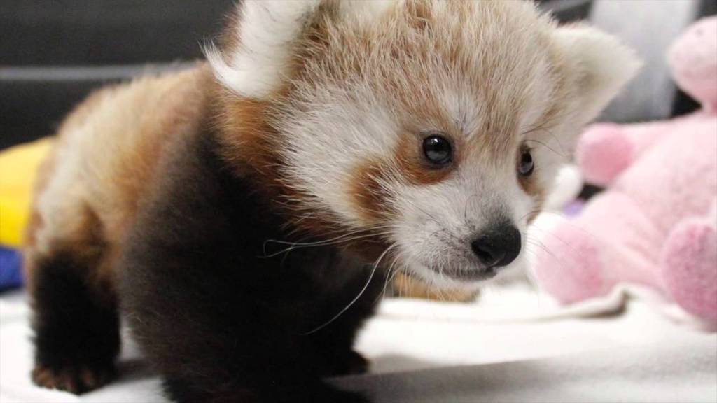 Twin Unnamed Baby Red Pandas Play, Sleep, Eat and Snuggle Together at the Lincoln Children's Zoo in Nebraska