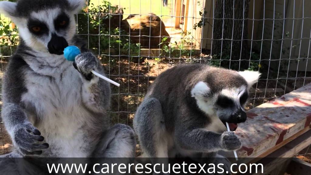 Two Little Lemurs Love Licking the Lollipops that Had Been Given to Them as a Treat