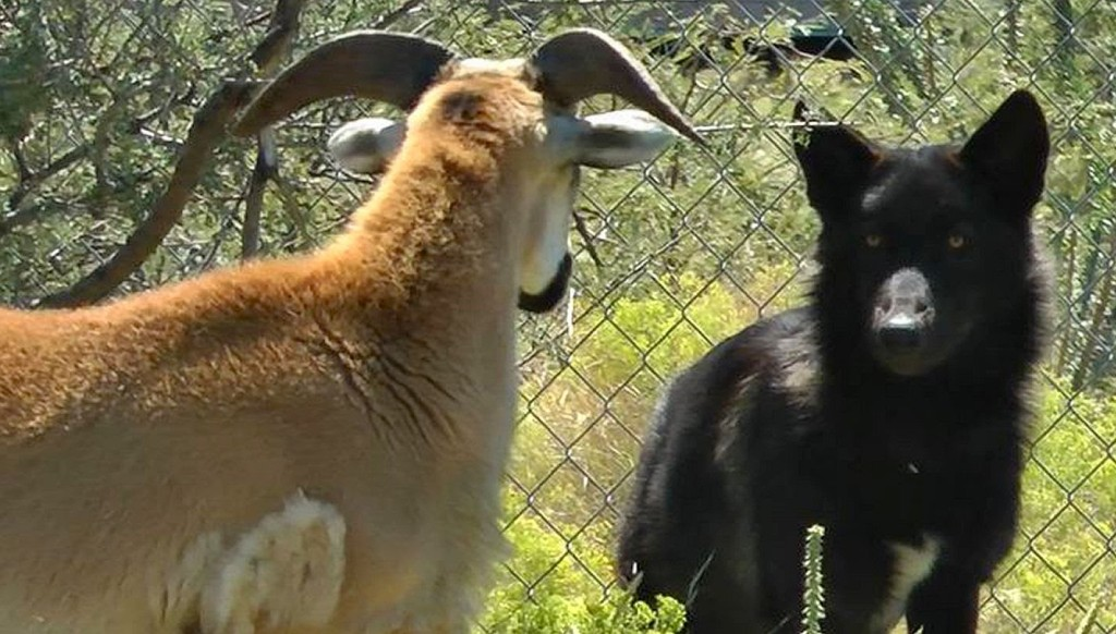 Wolf Puppy Is Unsuccessful in His Attempts to Become Friends with a Stubborn Ram