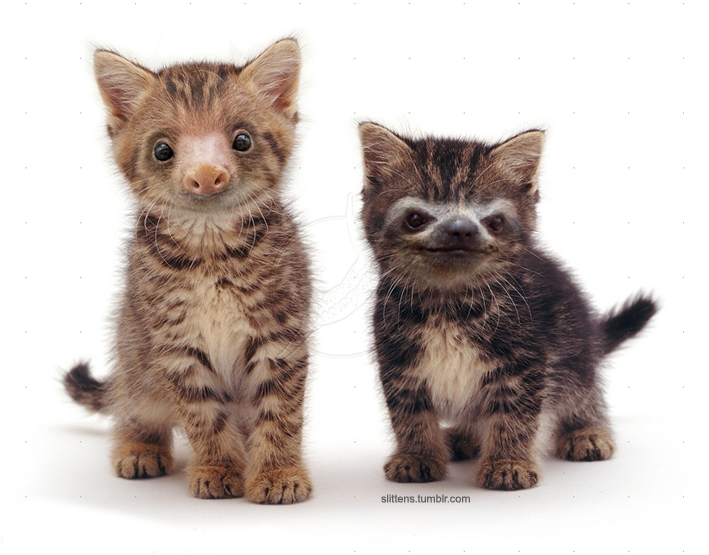 'Slittens', A Site That Superimposes Photos of Kittens with the Faces of Sloths