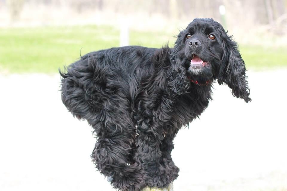Talented Cocker Spaniel Demonstrates Just A Few of the Over 250 Remarkable Tricks In Her Arsenal