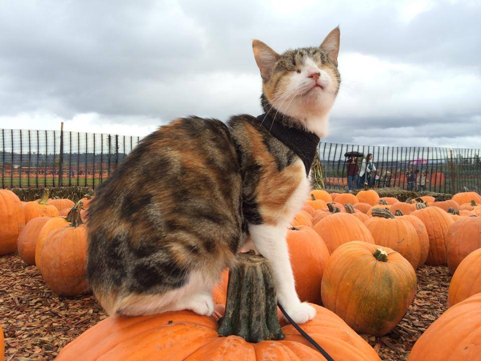 Honey Bee the Blind Cat Celebrates Her First Halloween with a Visit to the Local Pumpkin Patch
