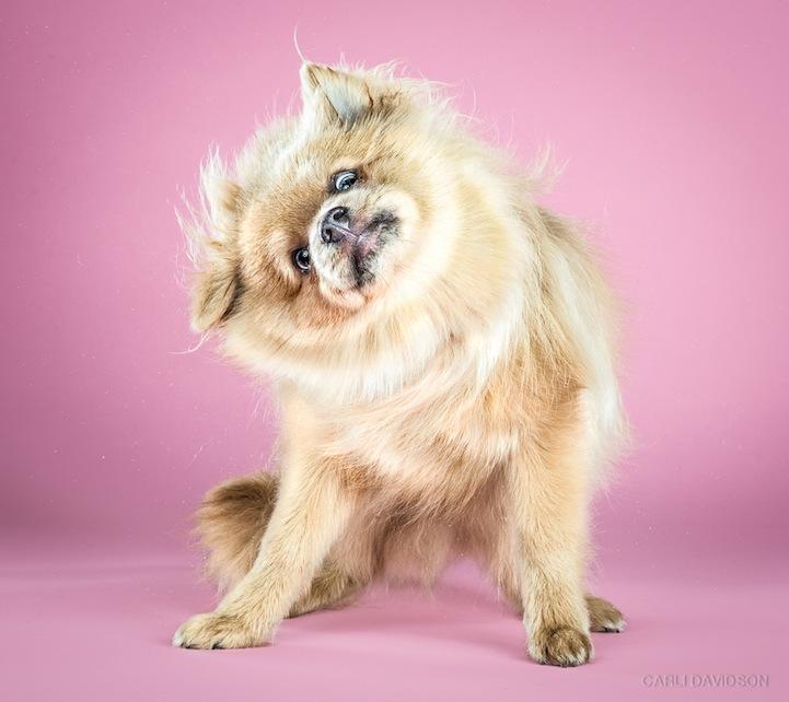Koda Pomeranian Shake2