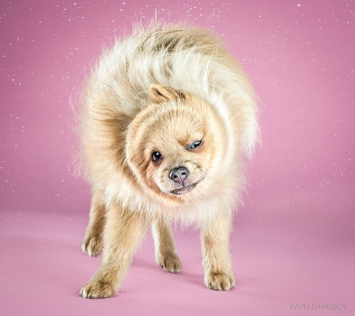 Koda Pomeranian Shake