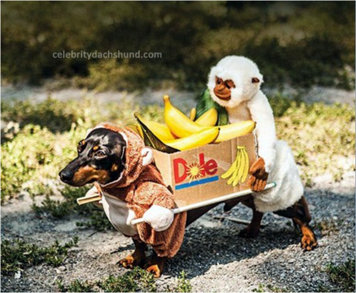 Monkeys and Bananas & Crusoe the Celebrity Dachshund Shares His Favorite Halloween Costumes