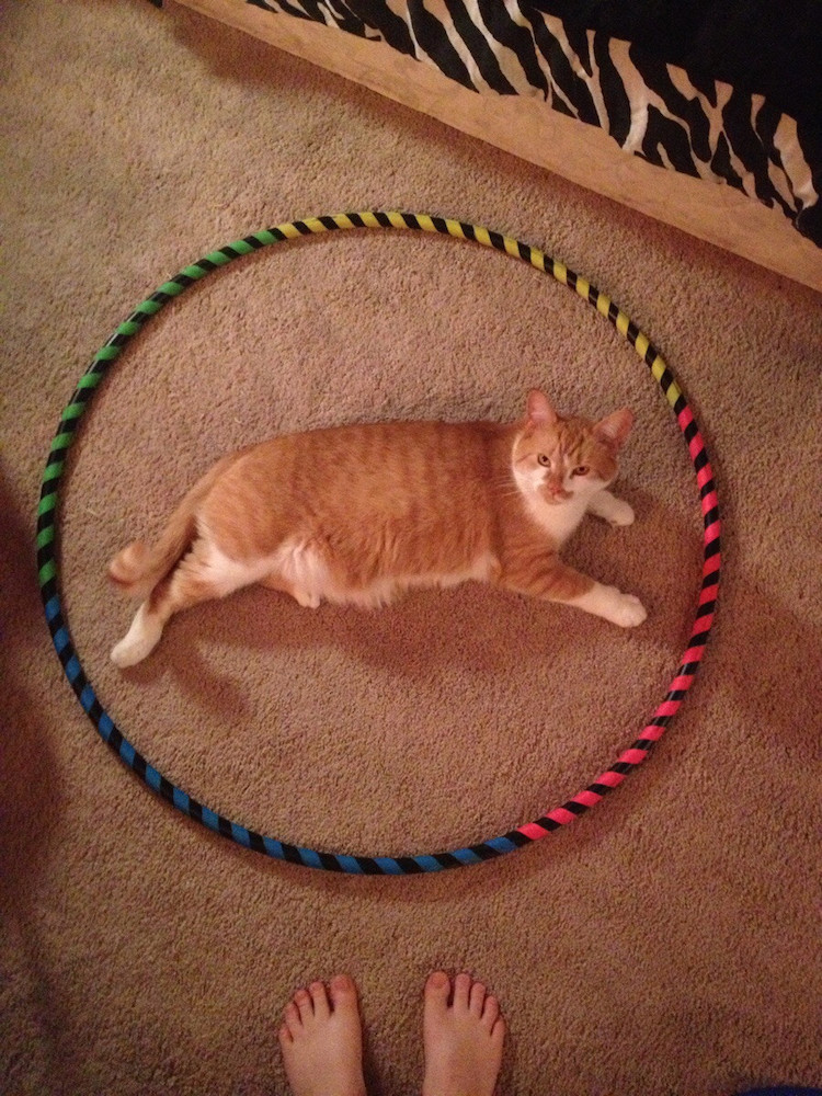 Orange Tabby in Hoop