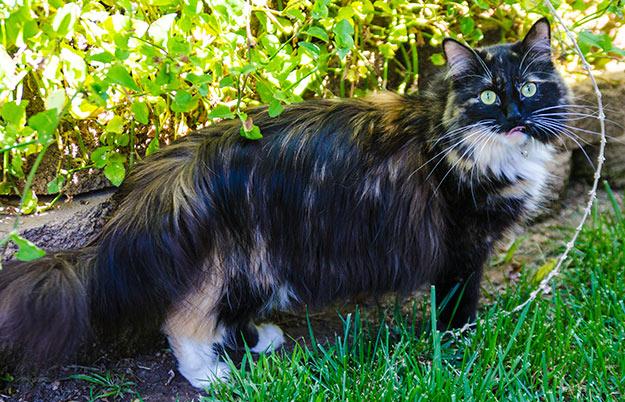 Sophie - Longest Fur