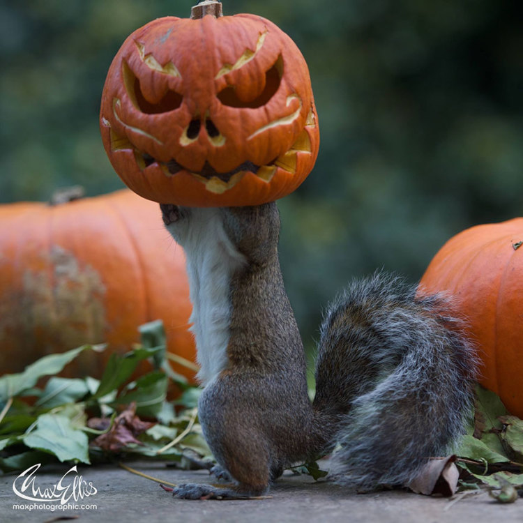 Squirrel Steals Pumpkin to Use as Mask