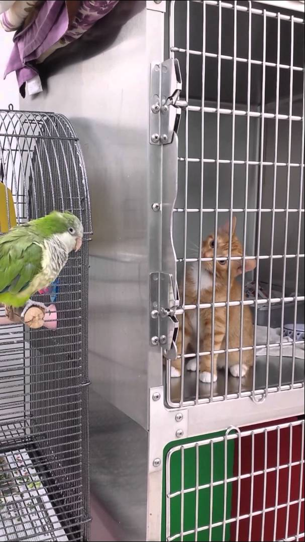 Boarded Kitten Is Completely Transfixed by the Parrot on a Perch to His Right