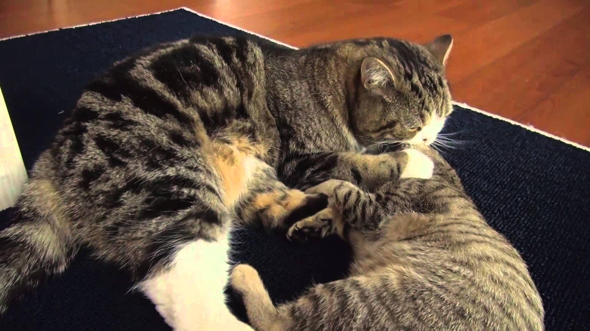 Cats Maru and Hana Stage an Epic Feline Battle On, Around and Under the Family Sofa