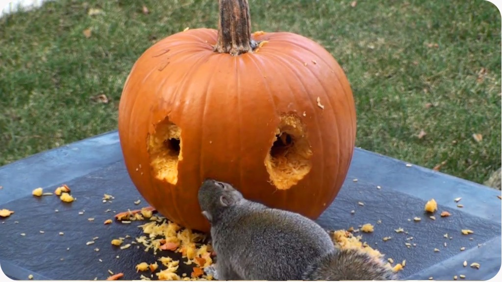 Creative Squirrel Skillfully Uses His Teeth to Carve A Face into a Pumpkin for Halloween