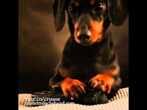 Crusoe the Celebrity Dachshund Plays a Video Game and Kills a Mutant Zombie