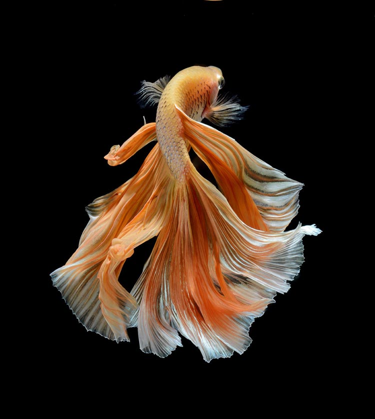 Close-Up Photos of Siamese Fighting Fish by Visarute Angkatavanich