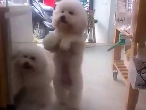 Fluffy White Dog Dances In Time to His Favorite Disco Song