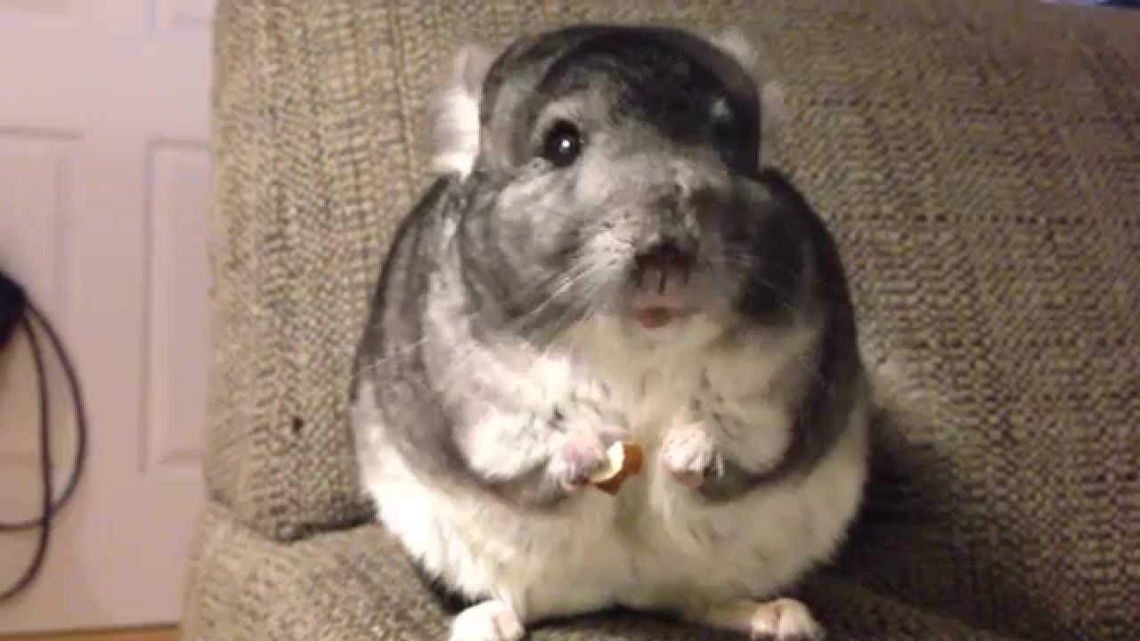 Hungry Chinchilla Gleefully Gobbles Up the Meaty Almond He Holds In His Hand