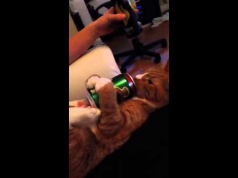 Orange Tabby Kitten Greedily Gulps Down the Rest of What's Left in a Can of Beer