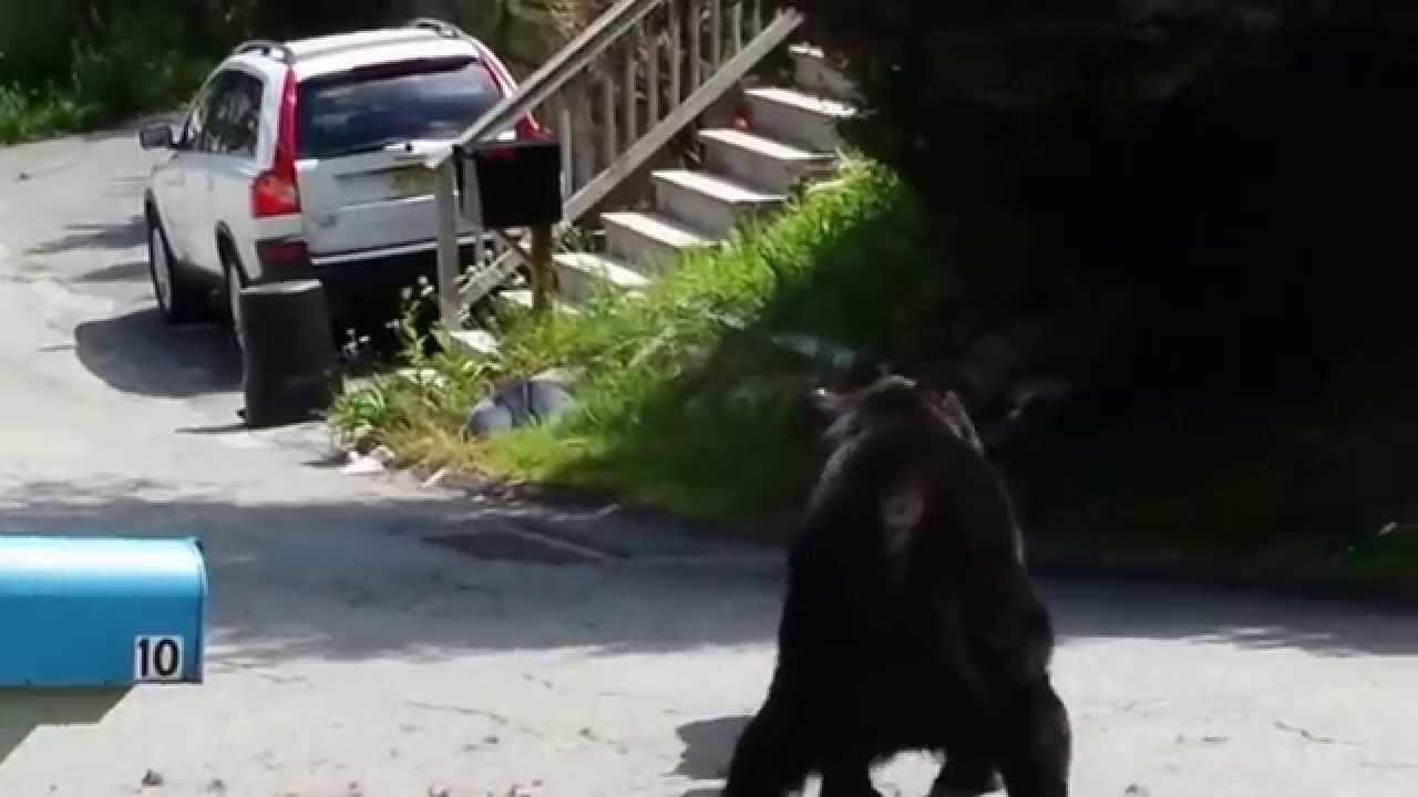Two Black Bears Fight in Front of a Home in a Residential New Jersey Neighborhood