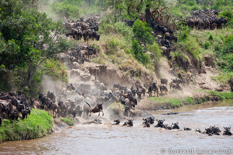 Wildebeest Time-Lapse by Matt and Will Burrard-Lucas