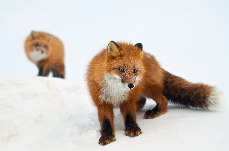 2 Foxes