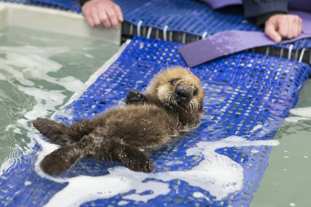 The Tiny Baby Sea Otter Who Was Rescued Off the California Coast Finds New Home at Shedd Aquarium in Chicago