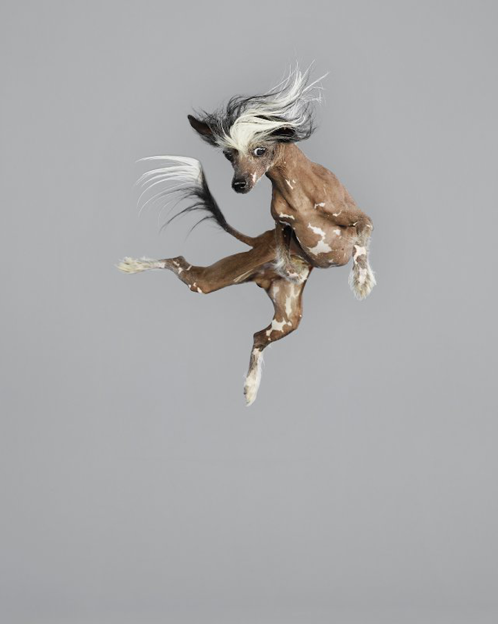Freestyle Chinese Crested