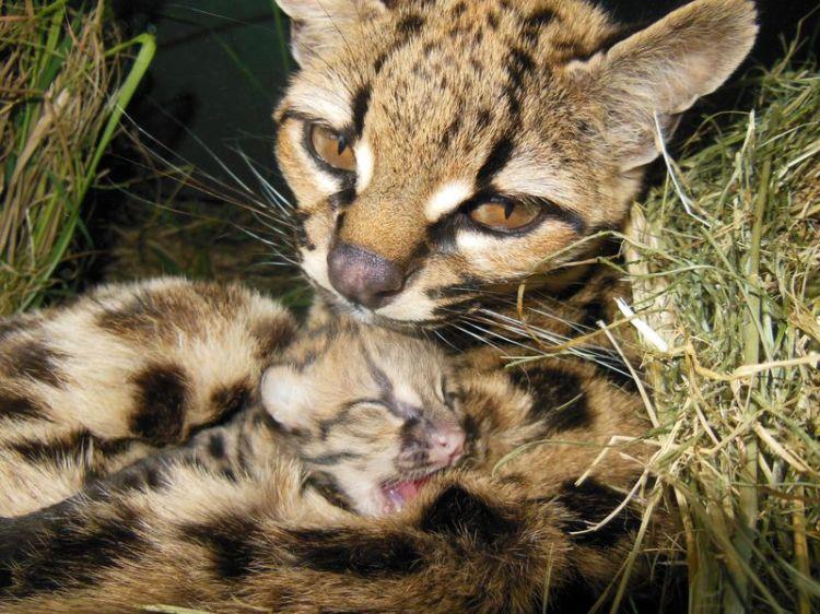 Margay Kitten 2