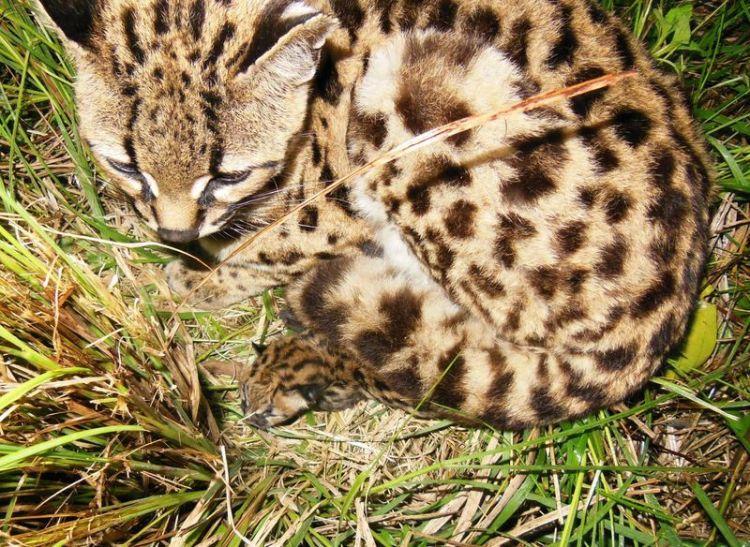 Margay Kitten 3
