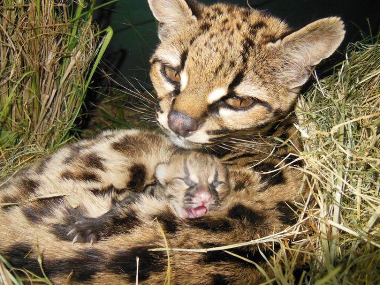 Margay Kitten 4