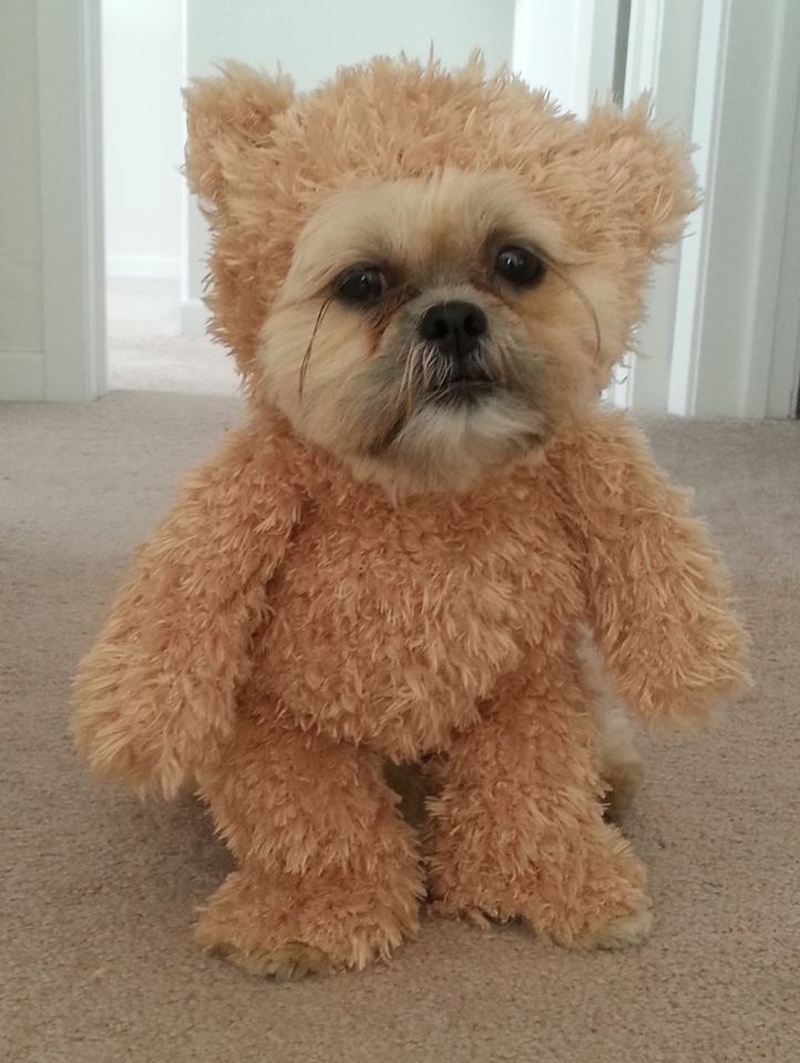 A Shih Tzu Wearing a Walking Teddy Bear Costume