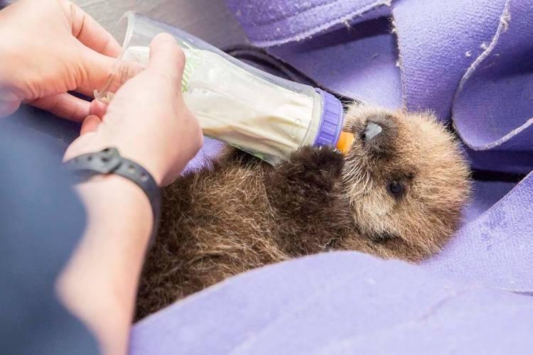 Otter 681 Eating