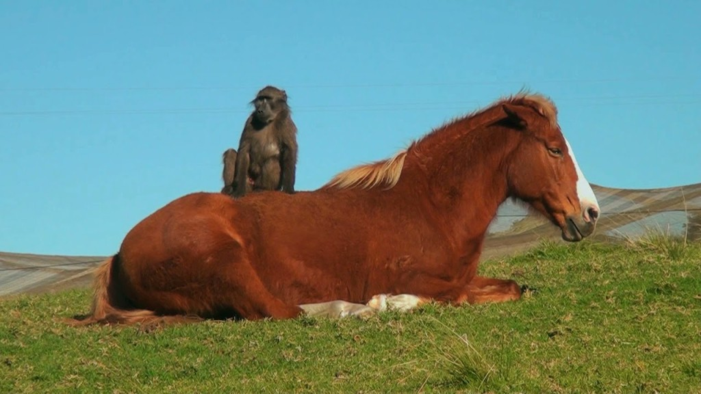 A Troop of Amiable Baboons Accept an Easygoing Horse as One of Their Own