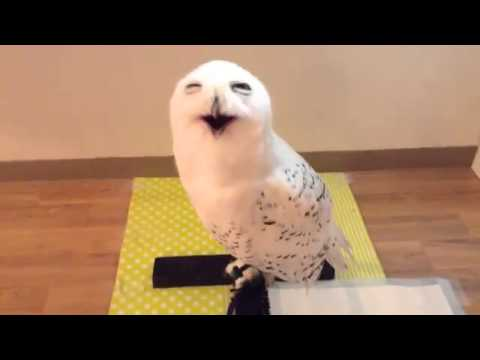 Bemused Snowy Owl Appears To Be Laughing at the Man Who Came to Visit Him