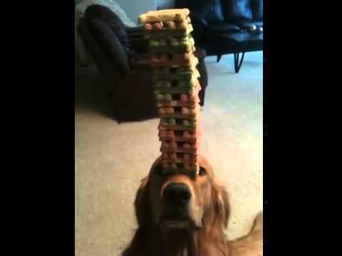 Carson the Jenga Dog Sets a RecordSetter World Record for the Most Treats Balanced on His Nose at Once