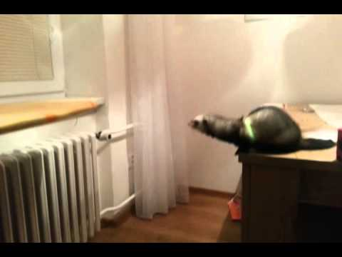 Daring Ferret Falls Short on Making a Successful Jump From the Desk to the Ironing Board