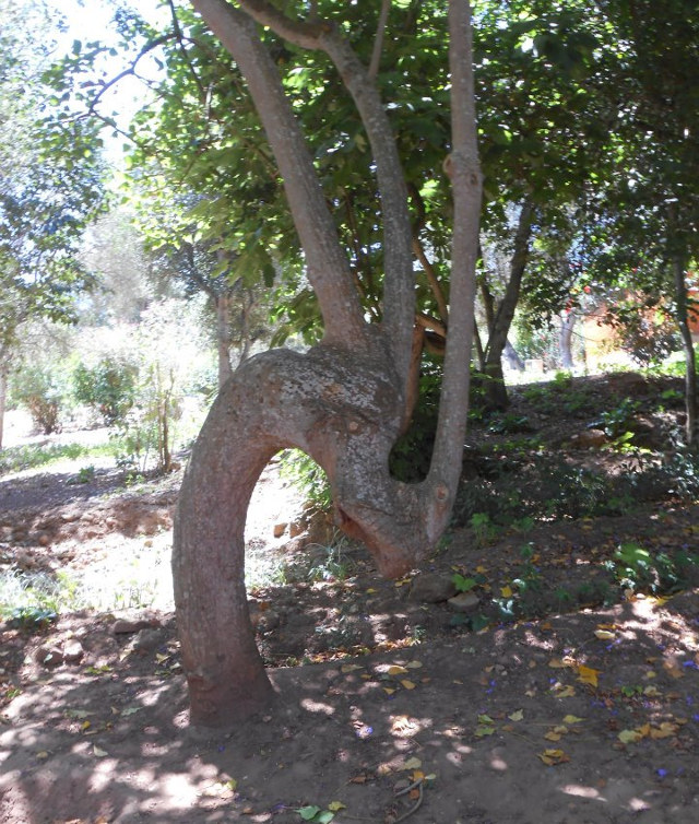 Dragon Tree in Rabat
