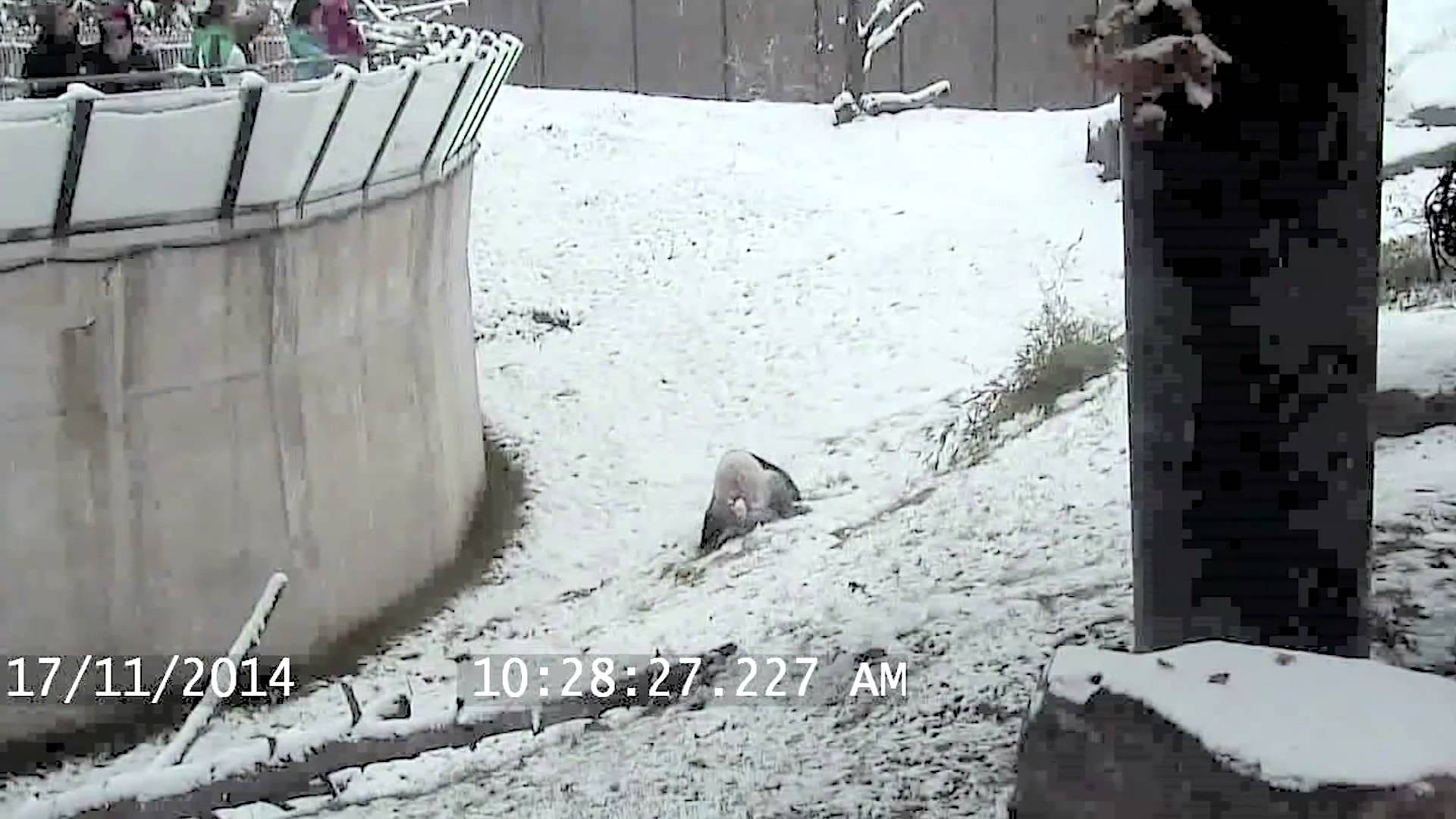 Giant Panda Repeatedly Rolls Himself Down a Snowy Hill at the Toronto Zoo