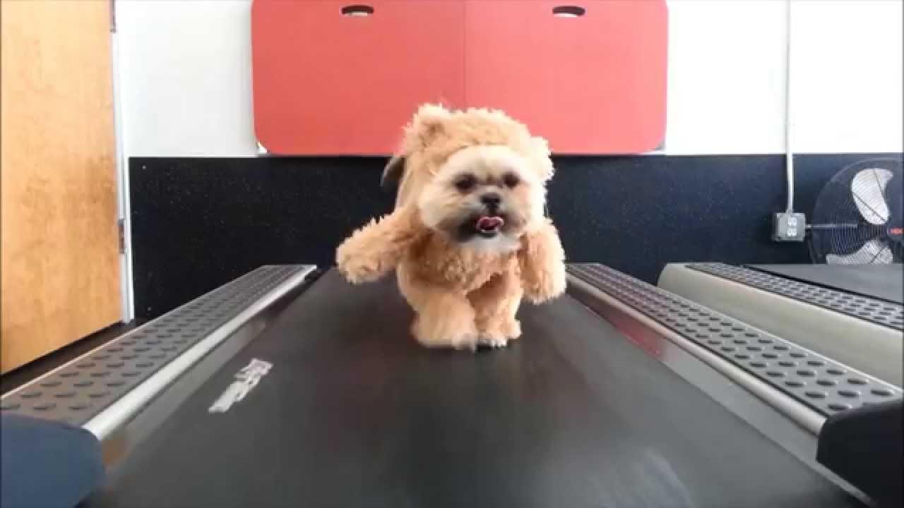 Shih Tzu on a Treadmill Wearing Teddy Bear Costume