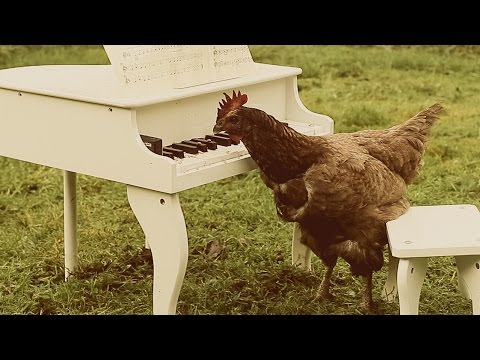 Pet Chicken Plays a Mini-Piano With the Help of Some Strategically Placed Seeds