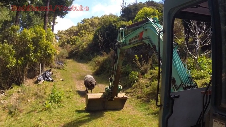 Rambro the Angry Ram Confronts a Piece of Heavy Construction Equipment