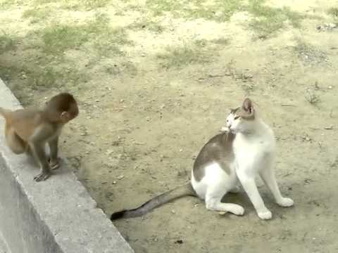 Rambunctious Monkey Relentlessly Teases a Frustrated Cat While Swinging Upside Down From a Tree