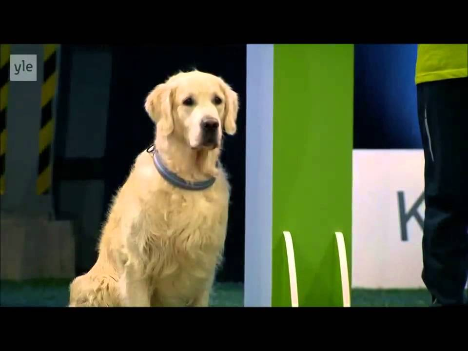Rebellious Golden Retriever Blows Off Obedience Race In Exchange For the Tasty Treats Lining the Lane