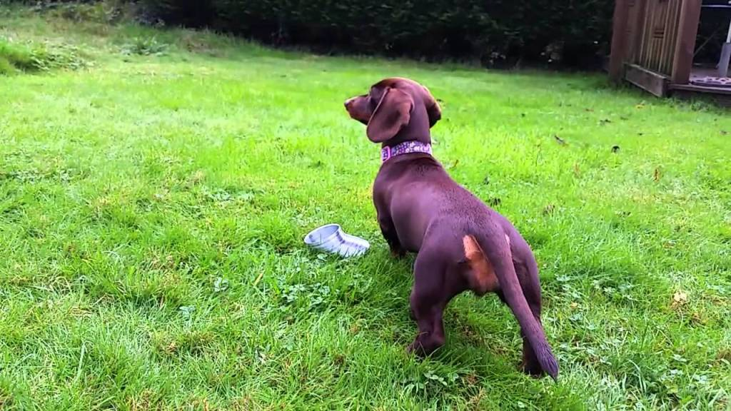 Silly Dachshund Attempts to Pick Up a Slippery Silver Slinky Toy Off the Ground With Her Nose