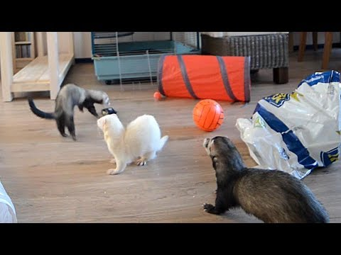 Three Ferrets Gleefully Enjoy Their Play Time By Running Around in the Living Room
