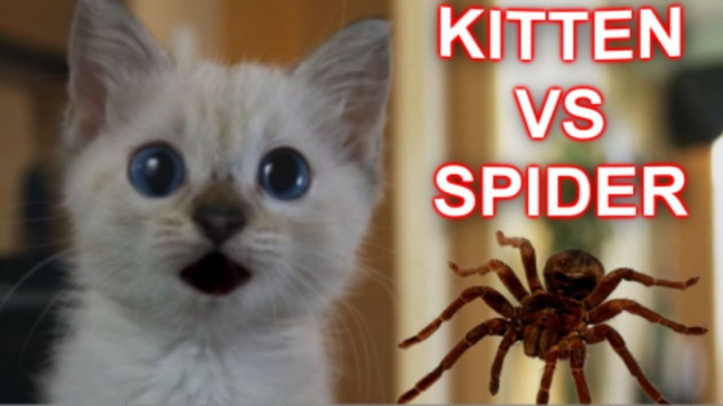Tiny Siamese Kitten Cautiously Stalks a Giant Remote-Controlled Black Spider
