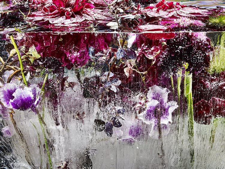 Photos of Flowers Frozen in Ice by Kenji Shibata