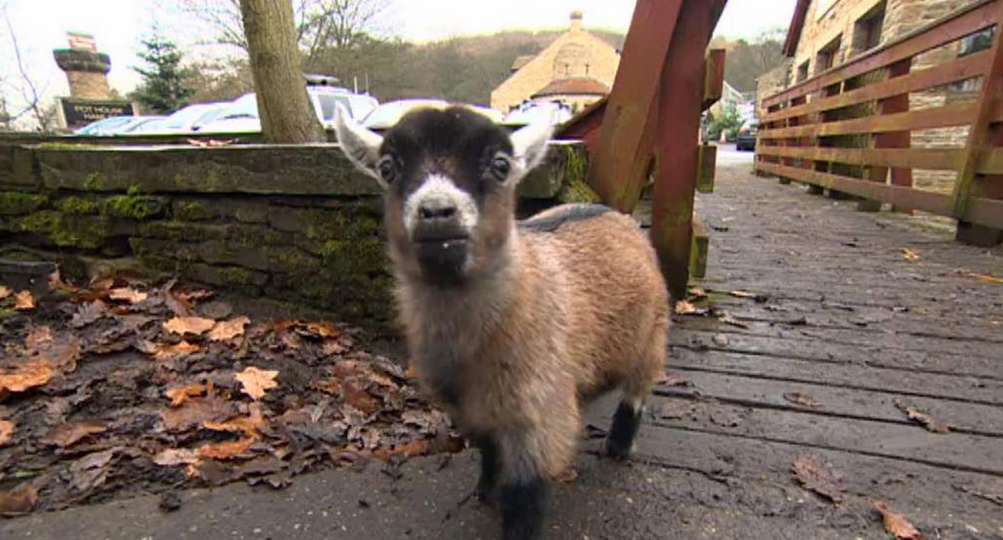 Benjamin the Pygmy Goat