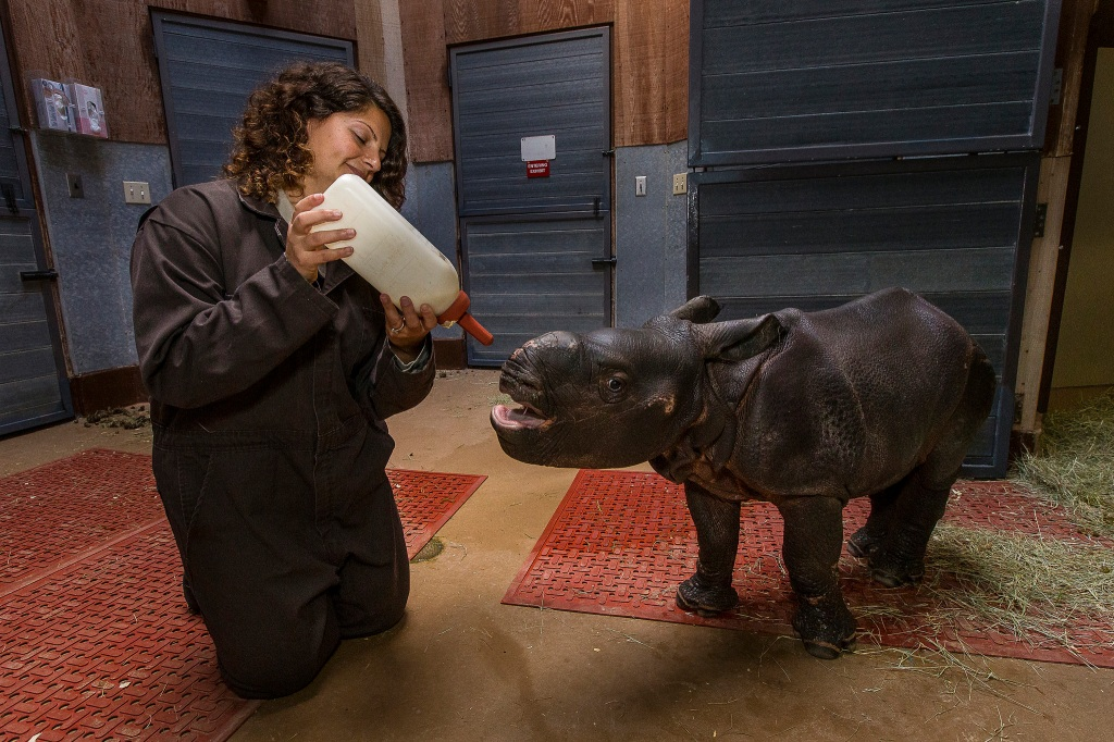 Three-Week-Old Baby Rhino Gets a Very Big Bottle for Breakfast at the San Diego Zoo