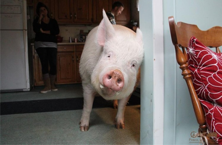 Esther the Wonder Pig Inside